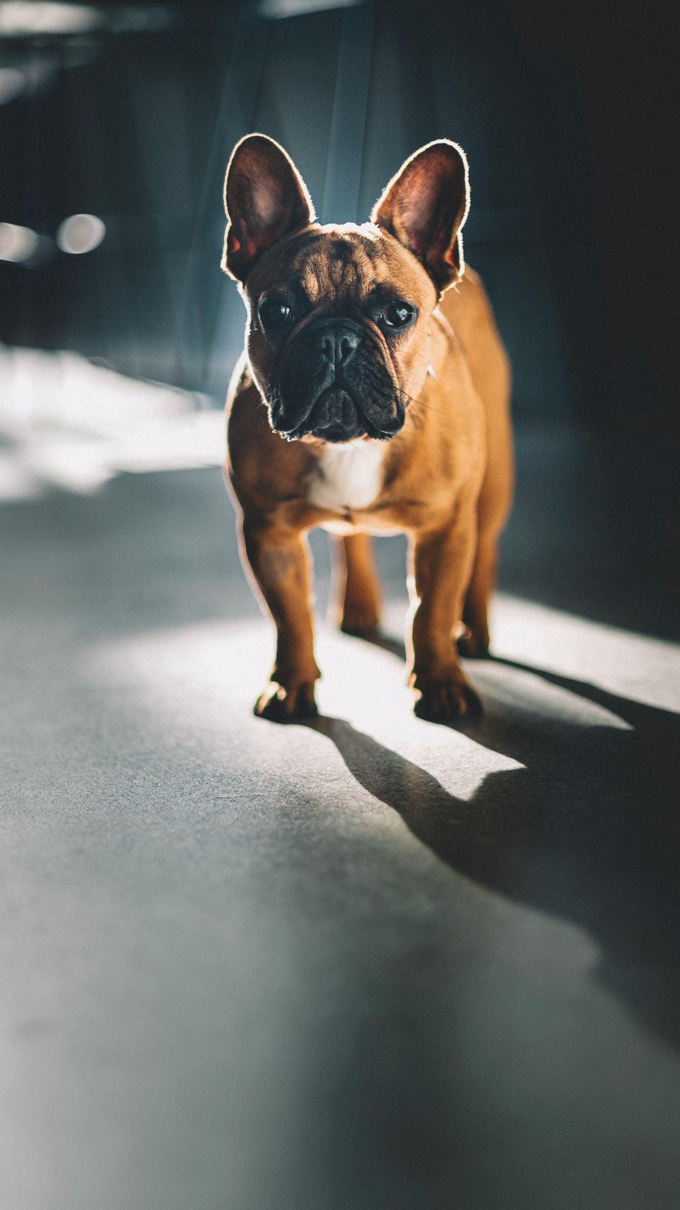 Phone wallpaper french bulldog, glance, dog, pet HD phone background